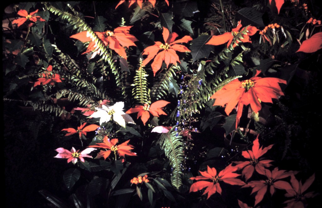 Conservatory in Vander Veer Park, Christmas Display, 1948; poinsettia and ferns. Grover C. von der Heyde photographs.